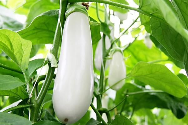 Auberginen weiß